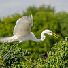 Great Egret in flight-3045