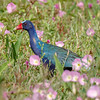 Purple Gallinule-4190-Edit-2-Edit