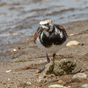 Ruddy Turnstone-3427