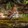 Brown Thrasher-3800