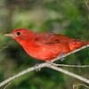 Summer Tanager-3979-Edit-2