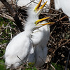 Great Egret Nestlings-2984
