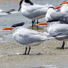 Royal Tern-3810