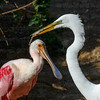 Roseate Spoonbill and Great Egret-3273