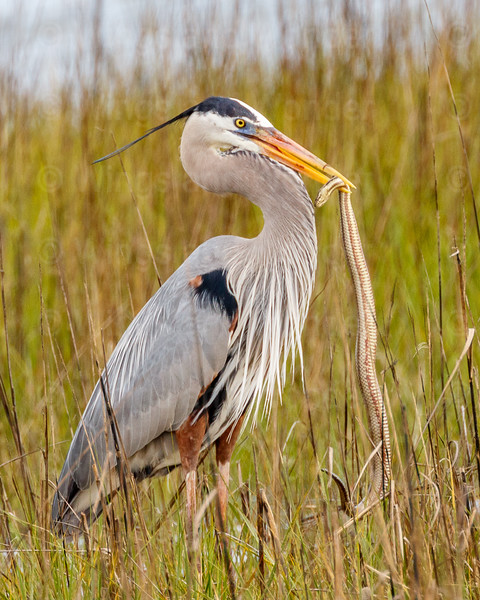 Great Blue Heron and snake-3760