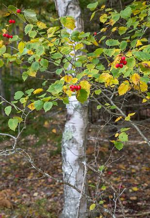 Acadia Fall No 4