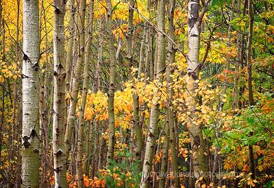 Fall Woods on Mt Desert Island