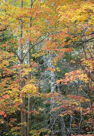 Acadia Fall No 12