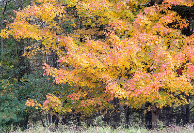Acadia Fall No 9
