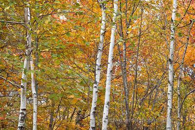 Fall Woods VI, Acadia