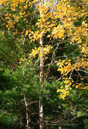 Acadia Fall No 1