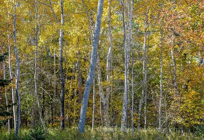 Acadia Fall No 20