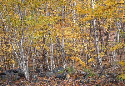 Acadia Fall No 18