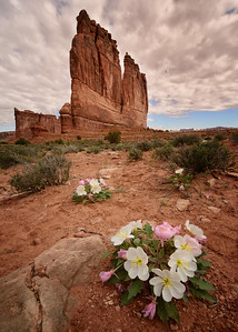 The Organ, Dwarf Evening-Primrose , Arches National Park