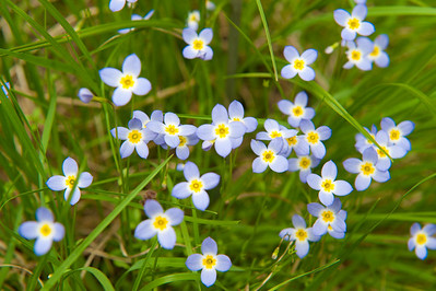 Bluets along trail to Upper Falls, Graveyard Fields, Blue Ridge Parkway, NC (MP 418.8)
