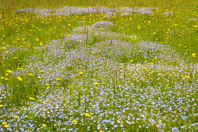 Bluets and Dandelions, Blue Ridge Parkway, NC (MP 428)