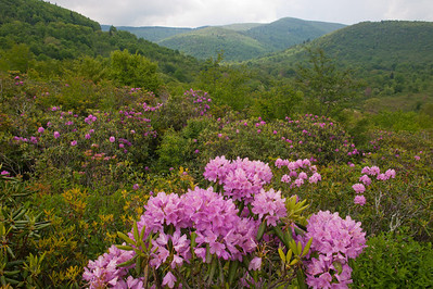 Rhododendren at Graveyard Fields Overlook, Blue Ridge Parkway, NC (MP 418.8)
