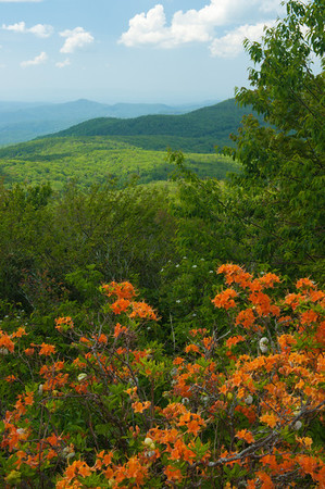 Azaleas and view from Grandfather Mountain access road