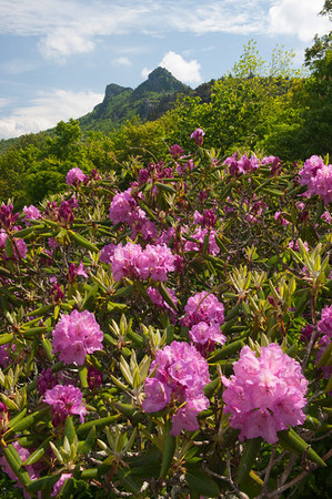 Catawba Rhododendron and Grandfather Mountain