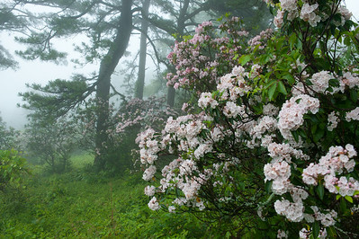 Mountain Laurel near MP 4