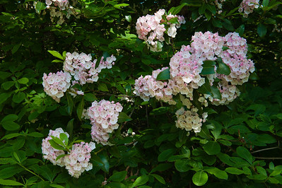 Mountain Laurel blooming along the Blue Ridge Parkway, VA