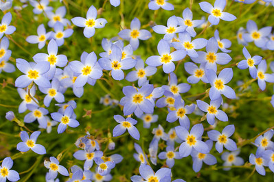 Bluets, Blue Ridge Parkway, NC (MP 428)