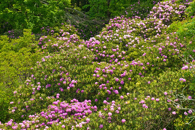 Catawba Rhododendron at Grandfather Mountain access road