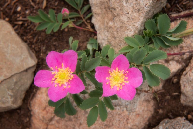 Woods' (Wild) Rose