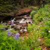 Lupines along Trout Creek