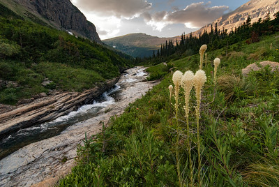 Beargrass along Siyeh Creek