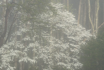 A Dogwood tree along the trail to a cabin in Cades Cove, Great Smoky Mountains National Park