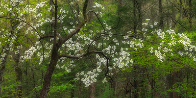 Dogwood at Cades Cove Picnic Area
