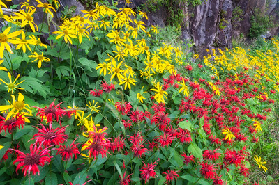 Wildflowers along Clingmans Dome Road, Great Smoky Mountains National Park