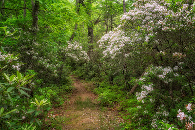 Mountain Laurel along Baskins Creek Trail
