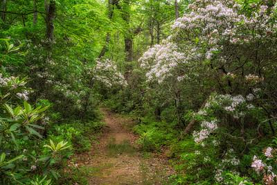 Mountain Laurel along Baskins Creek Trail