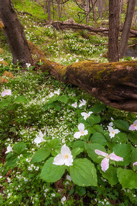 Large Flowered Trillium and Fringed Phacelia, Great Smoky Mountains National Park