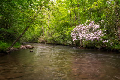 Mountain Laurel along Oconaluftee River