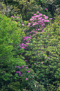 Catawba Rhododendron near Chimney Tops Trail