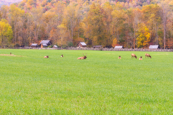 Elk at Oconaluftee Farm Village, Great Smoky Mountains National Park