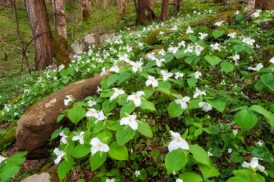 Large Flowered Trillium, Great Smoky Mountains National Park