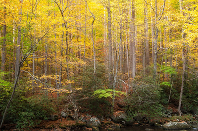 Autumn Forest, Great Smoky Mountains National Park