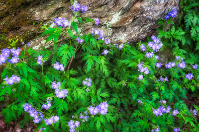 Purple Phacelia on Chestnut Top Trail, Great Smoky Mountains National Park
