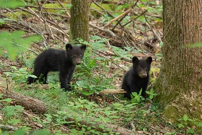 Black Bear along Laurel Creek Road