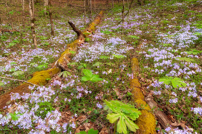 Blue Phlox and Mayapple, Great Smoky Mountains National Park