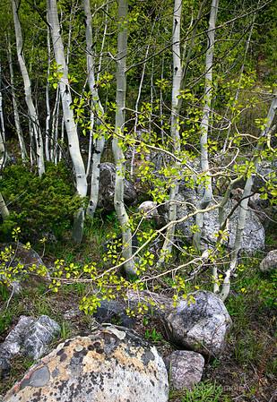 Spring Aspen Grove,