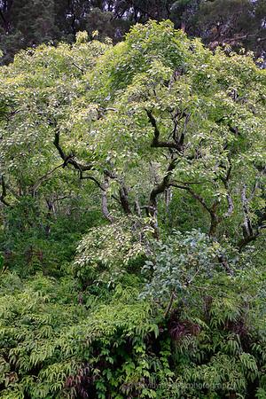 Rain Forest, Hanna Road, Maui