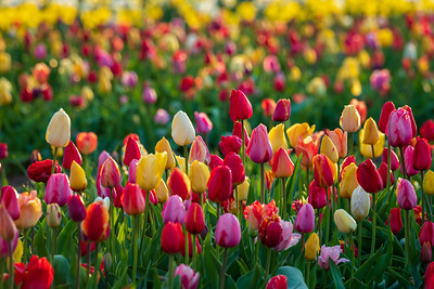 Veldheer Tulip Gardens, Holland, Michigan
