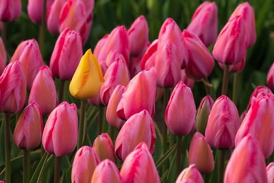 Veldheer Tulip Gardens, Holland, Michigan