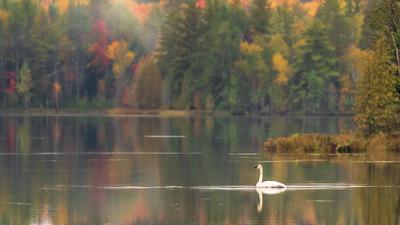 Trumpeter Swan on Fish Lake