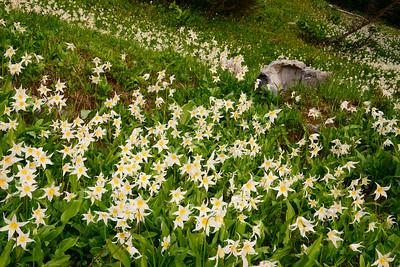 Avalanche Lilies along Deadhorse Creek Trail, Mount Rainier National Park